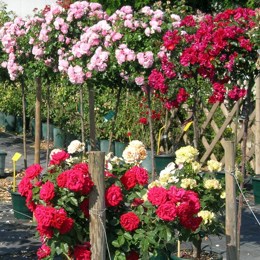 Faire Un Rosier Avec Une Rose comment choisir votre rosier ?