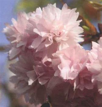 Cerisier A Fleurs Pleureur Kiku Shidare Sakura